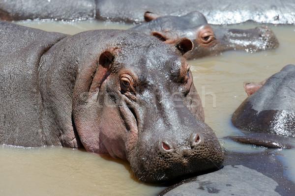 Hippopotamus Stock photo © byrdyak