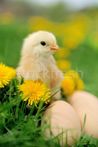 Stockfoto: Weinig · kip · gras · ei · voorjaar · baby
