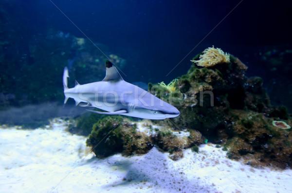 Whitetip reef shark Stock photo © byrdyak