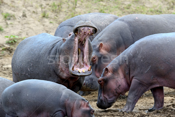 Hippo family (Hippopotamus amphibius) Stock photo © byrdyak