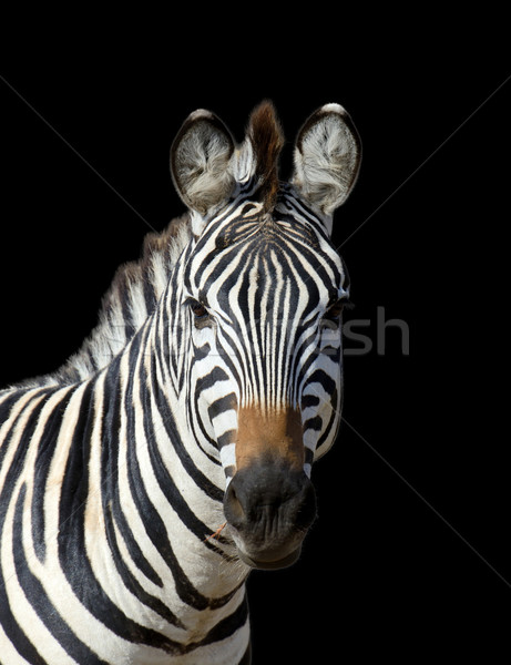 Zebra on dark background Stock photo © byrdyak