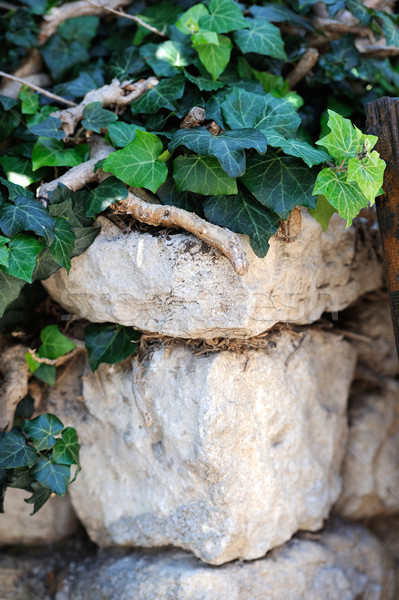 Vieux pierre lierre mur de pierre fleur Photo stock © byrdyak