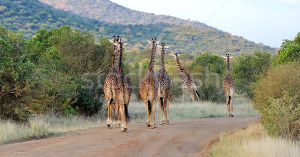 Zürafa park Kenya Afrika göz Stok fotoğraf © byrdyak