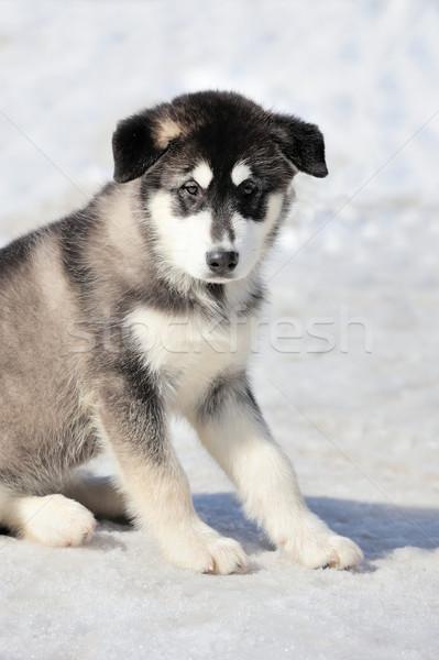 Husky perro invierno retrato feliz ojos Foto stock © byrdyak