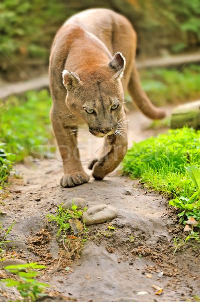 Puma yürüyüş hayvanlar hareketli rahatlatıcı Montana Stok fotoğraf © byrdyak
