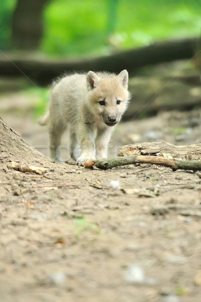 Sarkköri farkas kutyakölyök baba szem arc Stock fotó © byrdyak