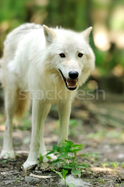 Wild wolf in the woods Stock photo © byrdyak