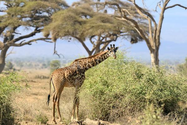 Giraffe Stock photo © byrdyak