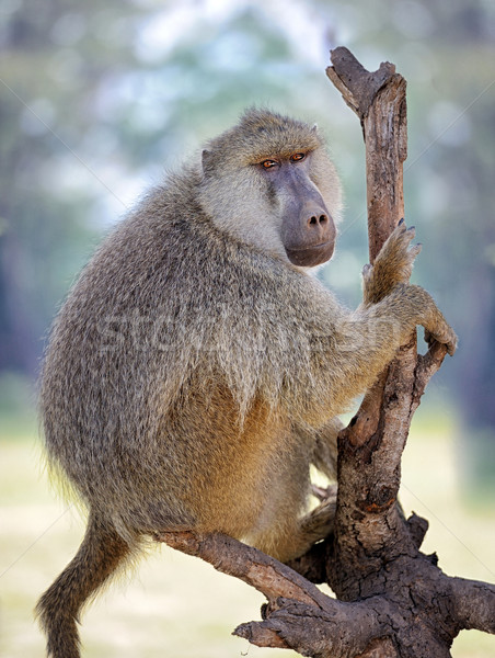 Olive baboon Stock photo © byrdyak