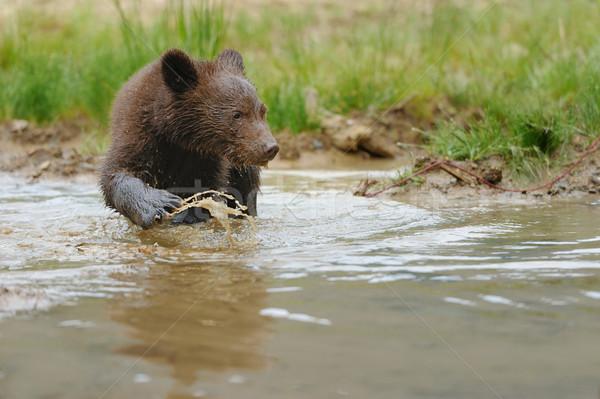 Brown bear cub in a water Stock photo © byrdyak