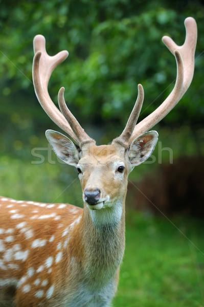 Whitetail Deer Stock photo © byrdyak