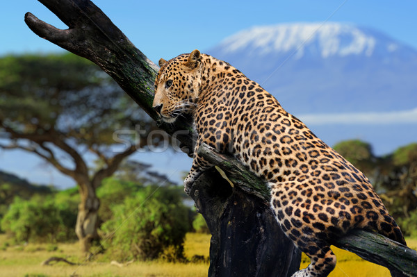 Leopárd ül ág Kilimandzsáró szem természet Stock fotó © byrdyak