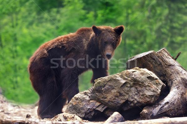 Tener forestales lluvia caminando animales Foto stock © byrdyak