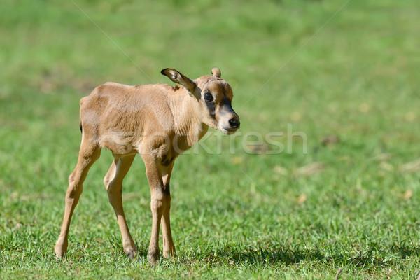 Baby gemsbok on grass Stock photo © byrdyak