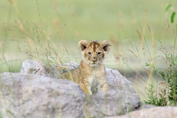 Aslan Afrika park Kenya Afrika Stok fotoğraf © byrdyak