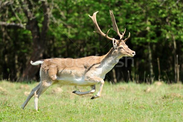 Roe deer Stock photo © byrdyak