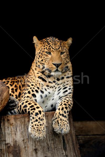 Leopard oeil visage Afrique noir jungle Photo stock © byrdyak