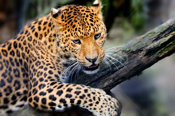 Leopardo enojado sesión rama retrato Foto stock © byrdyak