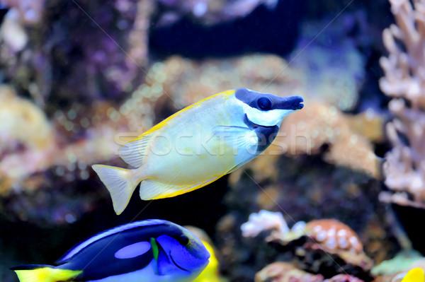Korallzátony trópusi hal fotó hal óceán kék Stock fotó © byrdyak