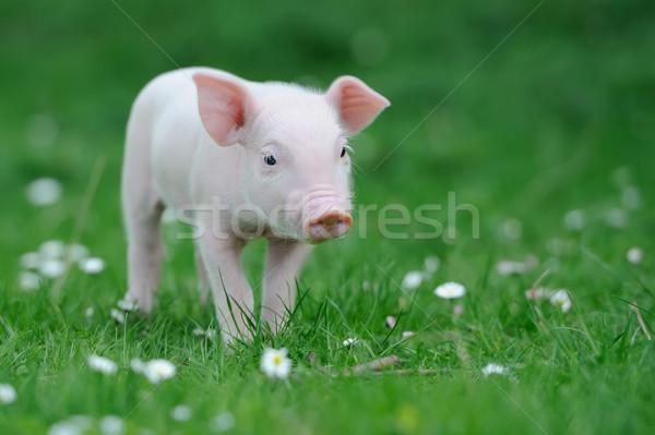 Piglet Stock photo © byrdyak