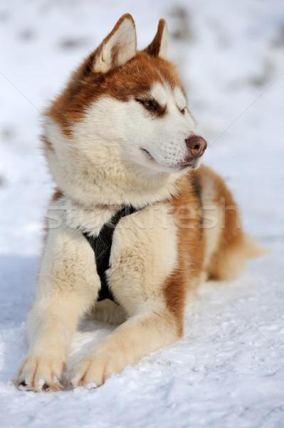 Boğuk köpek kış portre mutlu gözler Stok fotoğraf © byrdyak