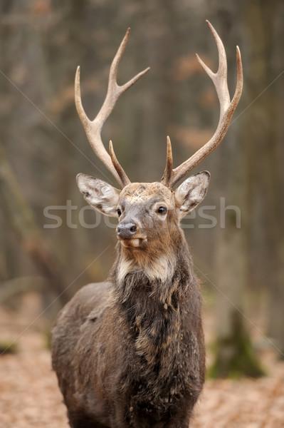 Cerfs belle rouge forêt portrait automne Photo stock © byrdyak