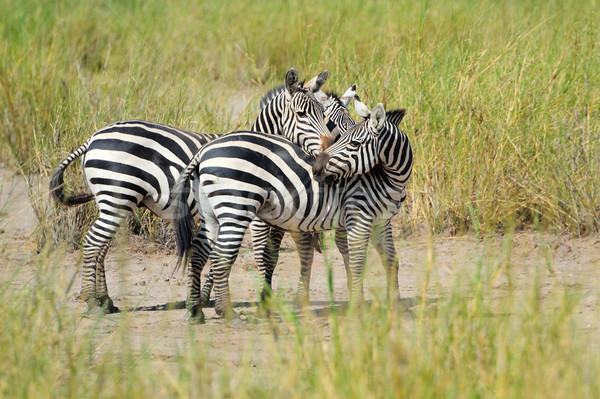 Zebra parque África Quênia natureza cavalo Foto stock © byrdyak