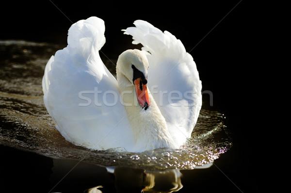 Cisne lago escuro água pena animais Foto stock © byrdyak