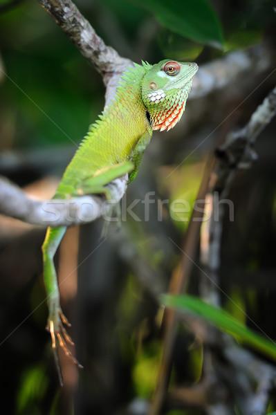 Kameleon groene Sri Lanka baby achtergrond Stockfoto © byrdyak