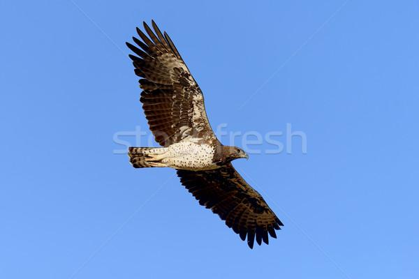 Tawny eagle Stock photo © byrdyak