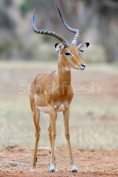 Impala Stock photo © byrdyak
