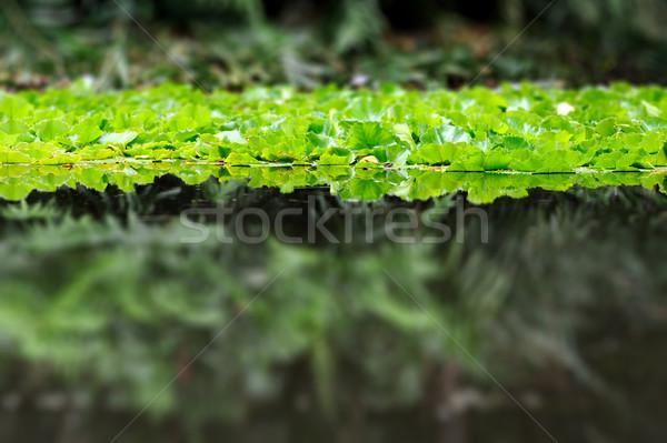 Waterlily on the lake Stock photo © byrdyak