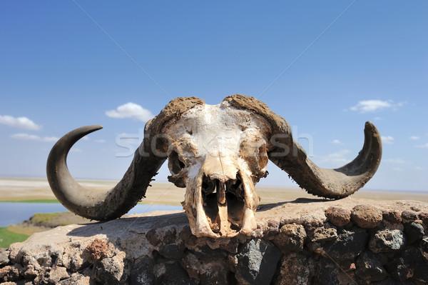 Buffalo skull Stock photo © byrdyak