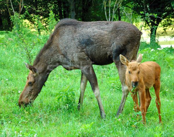 Baba jávorszarvas fű tavasz természet tájkép Stock fotó © byrdyak