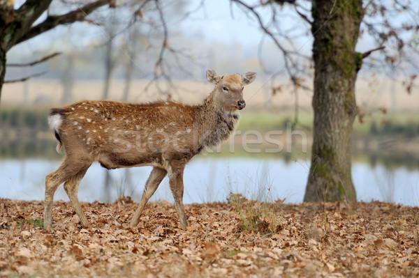 Deer in river Stock photo © byrdyak