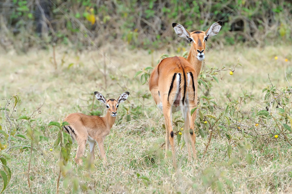 Baby impala with his mother Stock photo © byrdyak