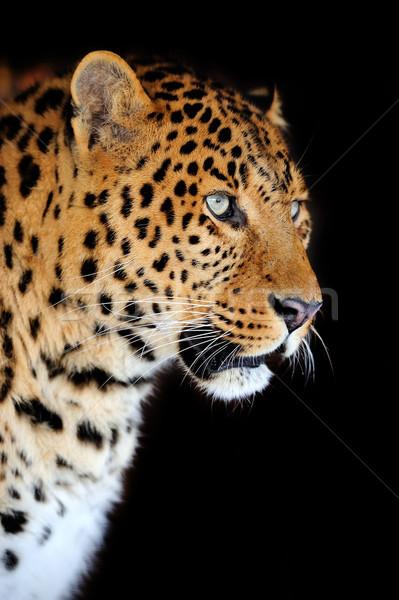 Leopárd portré sötét szem arc Afrika Stock fotó © byrdyak