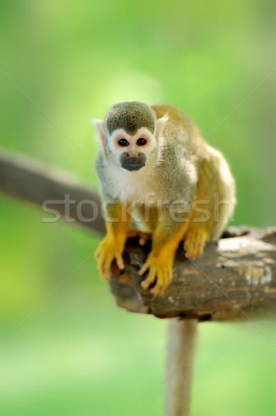 Сток-фото: белку · обезьяны · лице · лес · глазах