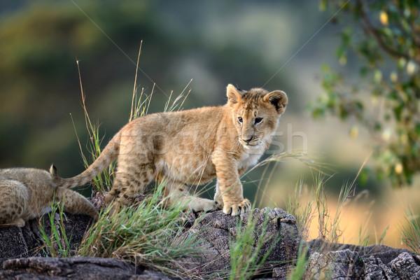 Aslan park Kenya Afrika Afrika Stok fotoğraf © byrdyak