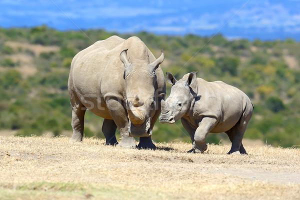 Rhino Afryki biały parku Kenia baby Zdjęcia stock © byrdyak