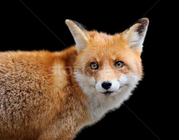 Vermelho raposa escuro retrato olho jovem Foto stock © byrdyak