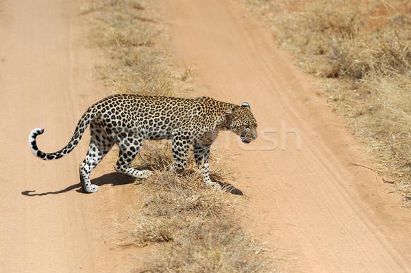 Leopárd vad park Kenya arc macska Stock fotó © byrdyak