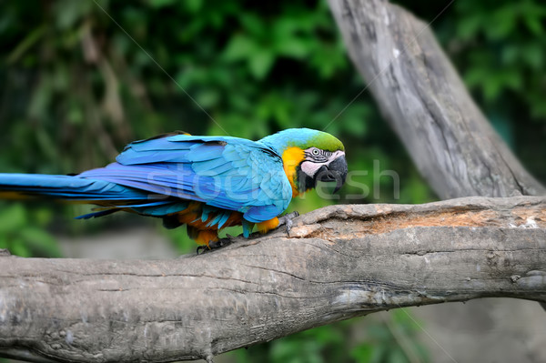 Parrot bird (Severe Macaw) Stock photo © byrdyak