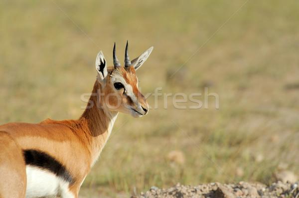 Thomson's gazelle Stock photo © byrdyak
