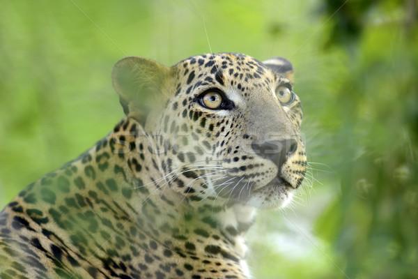 Leopardo isla Sri Lanka ojo cara Foto stock © byrdyak