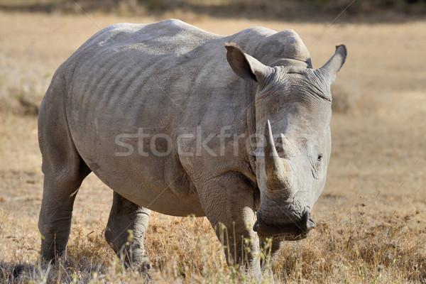 Stock photo: African white rhino