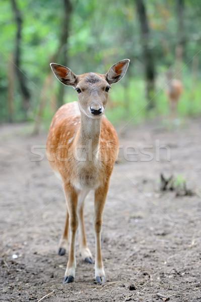 Fallow deer Stock photo © byrdyak