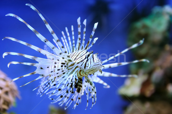 Red lionfish Stock photo © byrdyak