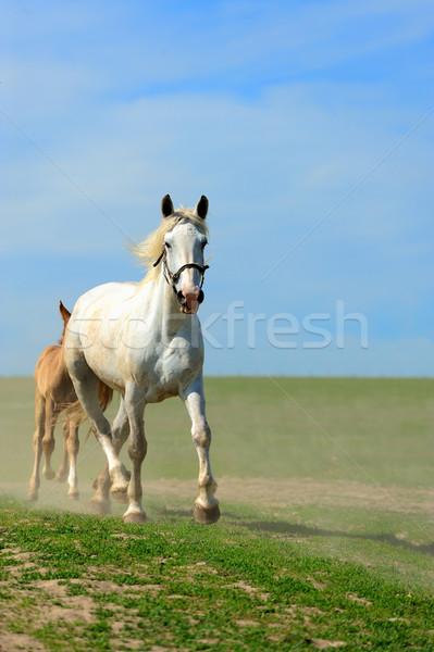 Caballo caballos ejecutar campo verano naturaleza Foto stock © byrdyak