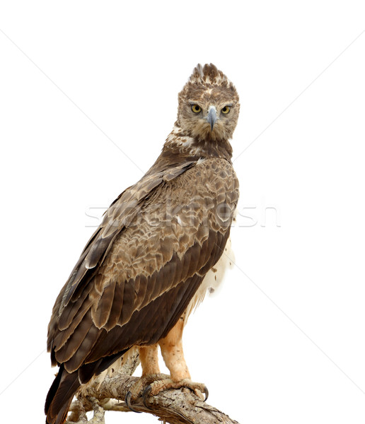 Tawny eagle Stock photo © byrdyak